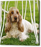 English Cocker Spaniel Acrylic Print