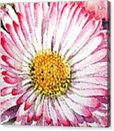 English Daisy Acrylic Print