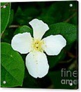 English Dogwood Blossom Acrylic Print