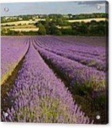 English Lavender Near Alton In Hampshire Acrylic Print
