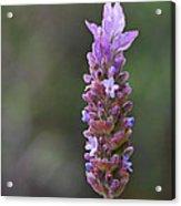 English Lavender Acrylic Print by Rona Black