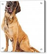 English Mastiff Dog With Tilted Head And Drool Acrylic Print
