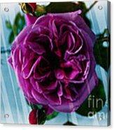 English Rose - Purple Rose - Fragrant Rose Acrylic Print