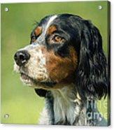 English Setter Dog Acrylic Print