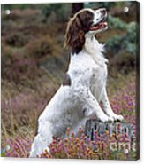 English Springer Spaniel Dog Acrylic Print