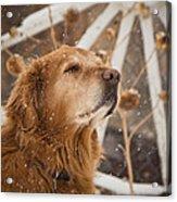 Enjoying The Moment - Golden Retriever - Casper Wyoming Acrylic Print