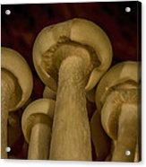 Enokitake Mushrooms  Acrylic Print