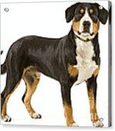Entlebuch Mountain Dog Acrylic Print