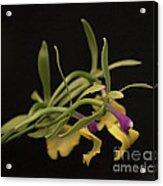 Epicattleya Rene Marques 'tyler'   4891 Acrylic Print