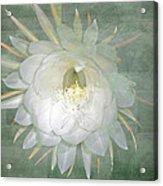 Epiphyllum Oxypetallum - Queen Of The Night Cactus Acrylic Print