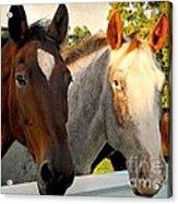 Equestrian Beauties Acrylic Print