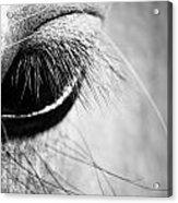 Equine Eye Acrylic Print