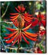 Erythrina Speciosa Acrylic Print