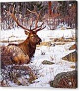 Estes Park Elk Acrylic Print