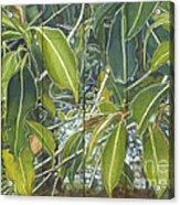 Euca - Leaves Section Acrylic Print