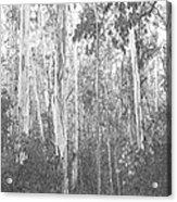 Eucalyptus Forest Acrylic Print