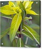 Euphorbia Cornigera 'goldener Turm' Acrylic Print by Science Photo Library