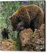 Eurasian Brown Bear 13 Acrylic Print