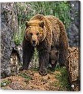 Eurasian Brown Bear 14 Acrylic Print