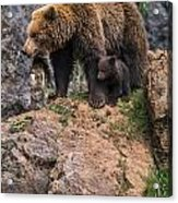 Eurasian Brown Bear 15 Acrylic Print