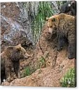 Eurasian Brown Bear 17 Acrylic Print