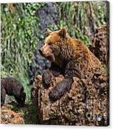 Eurasian Brown Bear 8 Acrylic Print