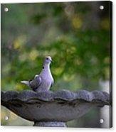 Eurasian Collared Dove Acrylic Print