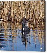 Eurasian Coot And The Bubles Acrylic Print