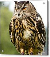 Eurasian Eagle Owl On Log Acrylic Print