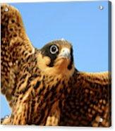 Eurasian Hobby Falco Subbuteo In Acrylic Print
