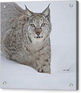 Eurasian Lynx Acrylic Print