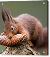 Eurasian Red Squirrel Biting Cone Acrylic Print by Ingo Arndt