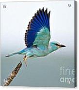 Eurasian Roller Acrylic Print by Johan Swanepoel