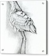 Eurasian Spoonbill - Platalealeucorodia Acrylic Print