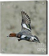 Eurasian Wigeon Flying Acrylic Print