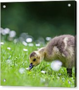 Europe, Germany, Bavaria, Canada Goose Acrylic Print