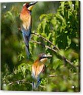 European Bee-eater Acrylic Print