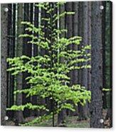 European Beech Tree In Noway Spruce Acrylic Print