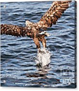 European Fishing Sea Eagle 2 Acrylic Print