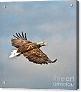 European Flying Sea Eagle 3 Acrylic Print