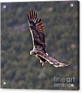 European Flying Sea Eagle 4 Acrylic Print