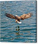 European Flying Sea Eagle 6 Acrylic Print