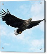European Flying Sea Eagle 7 Acrylic Print