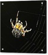 European Garden Spider Acrylic Print