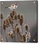 European Goldfinch Acrylic Print
