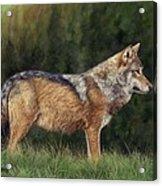 European Grey Wolf Acrylic Print