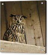 European Owl Acrylic Print