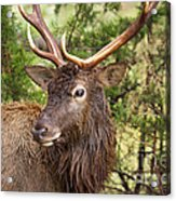 European Red Deer 1 Acrylic Print