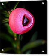 European Yew Acrylic Print