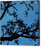Evening Branches Acrylic Print